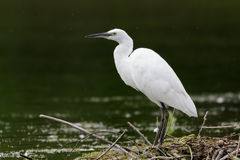 Pequeño Egret (garzetta del Egretta) Fotografía de archivo libre de regalías