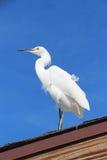 Pequeño Egret (pequeña garza blanca) Fotografía de archivo