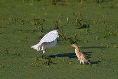 Pequeño egret y garza del squacco Imágenes de archivo libres de regalías