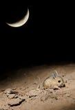 Pequeño elater cinco-tocado con la punta del pie de Allactaga del jerbo en la noche iluminada por la luna Imagenes de archivo