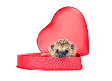 Pequeño erizo del bosque en una caja de regalo roja en forma del corazón Imagen de archivo