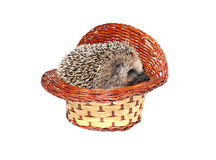 Pequeño erizo del bosque en una cesta aislada Imagen de archivo libre de regalías