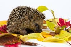 Pequeño erizo que se sienta en las hojas de otoño Imagenes de archivo