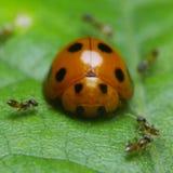Pequeño escarabajo de señora en el jardín foto de archivo