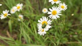 Pequeño escarabajo en la margarita de ojo de buey blanca en un jardín del verano almacen de video