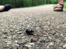 Pequeño escarabajo negro imagen de archivo
