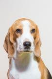 Pequeño estudio del perro del beagle del retrato Foto de archivo libre de regalías