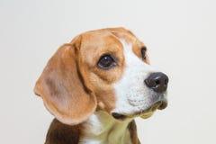 Pequeño estudio del perro del beagle del retrato Fotografía de archivo libre de regalías