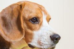 Pequeño estudio del perro del beagle del retrato Foto de archivo