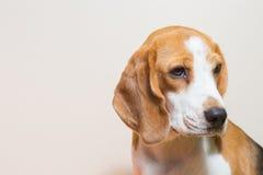 Pequeño estudio del perro del beagle del retrato Imágenes de archivo libres de regalías