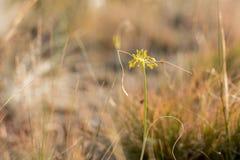 Pequeño flavum amarillo del allium de la cebolla en la estepa de la hierba Fotografía de archivo
