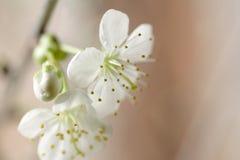 Pequeño flor de cereza blanco imagen de archivo libre de regalías