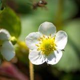 Pequeño flor precioso de la fresa Foto de archivo