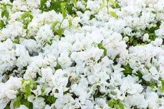 Pequeño fondo blanco de la flor Paniculata del Gypsophila o flores de la respiración del bebé Imagen de archivo