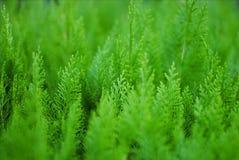 Pequeño fondo conífero del verde de la planta ornamental del Thuja imagenes de archivo