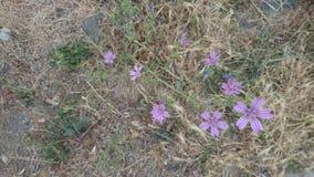 Pequeño fondo púrpura rosado de las flores Imagen de archivo