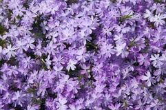 Pequeño fondo violeta de la textura de las flores Foto de archivo