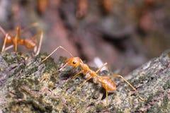 Pequeño funcionamiento de la hormiga Fotografía de archivo libre de regalías