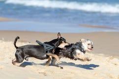 Pequeño funcionamiento de los perros Fotografía de archivo libre de regalías