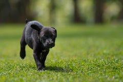 Pequeño funcionamiento negro del perrito Foto de archivo
