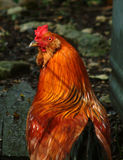 Pequeño gallo rojo Imágenes de archivo libres de regalías