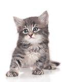 Pequeño gatito Fotografía de archivo libre de regalías