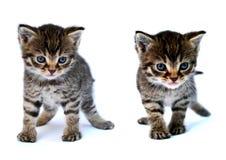 Pequeño gatito Fotografía de archivo