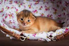 Pequeño gatito abisinio en una cesta Fotografía de archivo