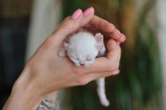 Pequeño gatito blanco recién nacido en manos femeninas Fotografía de archivo
