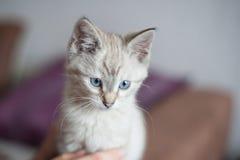 Pequeño gatito británico fotografía de archivo libre de regalías