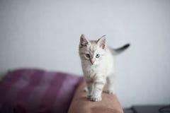 Pequeño gatito británico fotos de archivo libres de regalías