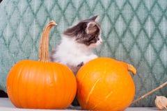 Pequeño gatito con las calabazas Imagenes de archivo