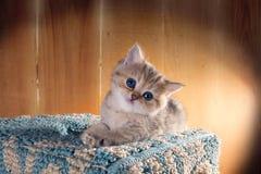 Pequeño gatito de ojos azules encantador británicos Shorthair Color: B Imagen de archivo