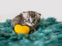 Pequeño gatito de orejas ca3idas asustado scotsman Gatito criado en línea pura imagen de archivo libre de regalías
