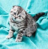 Pequeño gatito del doblez del escocés Imagen de archivo