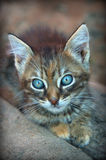 Pequeño gatito del gatito de la mirada gris del gatito Fotos de archivo libres de regalías