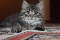 Pequeño gatito del gato del animal doméstico foto de archivo