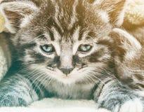 Pequeño gatito del gato atigrado fotos de archivo libres de regalías
