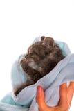 Pequeño gatito después de una ducha en las manos de la muchacha en el backgr blanco Fotos de archivo libres de regalías