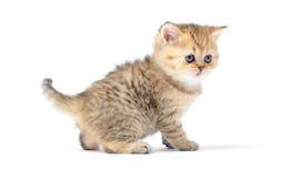 Pequeño gatito en el fondo blanco Imágenes de archivo libres de regalías