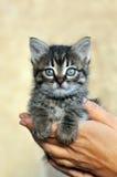 Pequeño gatito en manos de la mujer Fotos de archivo