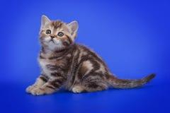Pequeño gatito en un fondo azul Foto de archivo libre de regalías