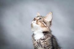 Pequeño gatito en un fondo gris Imagenes de archivo