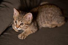 Pequeño gatito en una actitud divertida Foto de archivo
