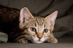 Pequeño gatito en una actitud divertida Imágenes de archivo libres de regalías