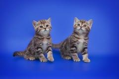 Pequeño gatito escocés dos en fondo azul Foto de archivo