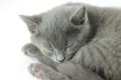 Pequeño gatito gris Foto de archivo