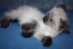 Pequeño gatito gris con los ojos azules que mienten en el sofá Imagen de archivo