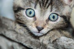 Pequeño gatito gris curioso que mira en la cámara Fotos de archivo