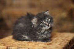 Pequeño gatito gris en la caja Imagen de archivo libre de regalías